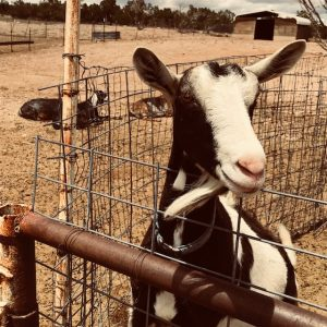 Marcia Fine on a goat farm